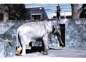 ฮานาโกะ ช้างไทยในสวนสัตว์ญี่ปุ่นล้มแล้ว ด้วยวัย 69 ปี
