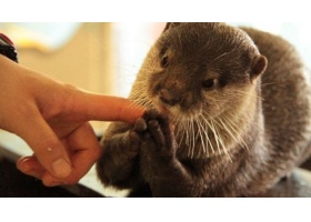 สวนสัตว์น้ำที่ญี่ปุ่น เอาใจน้องๆ เปิดให้สัมผัสน้องนากได้อย่างใกล้ชิด